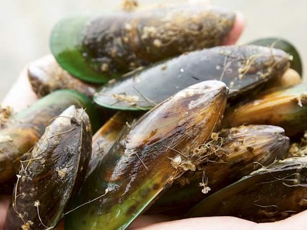 Green Lipped Mussel Local Mussel From New Zealand Tasteatlas