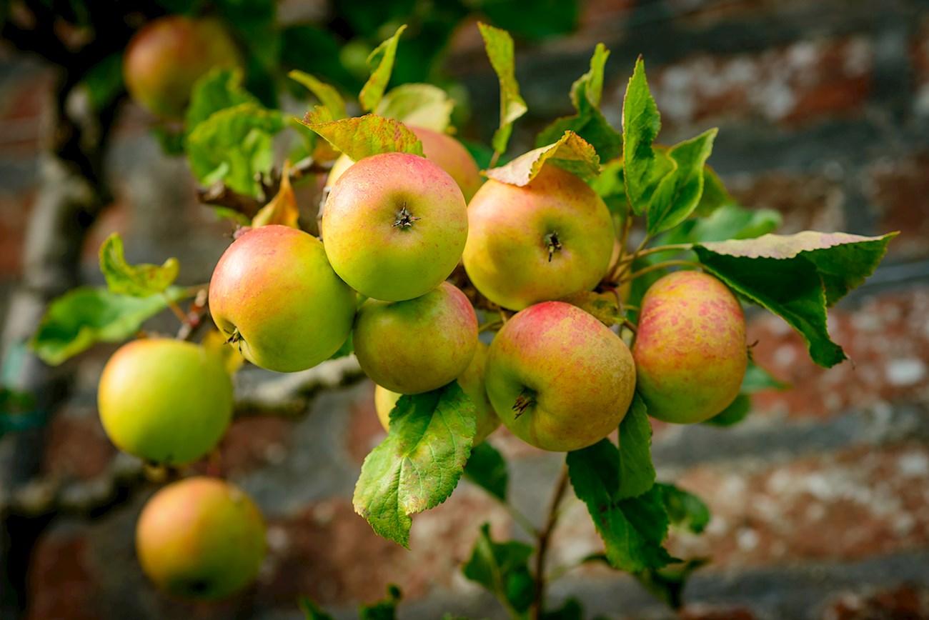 6 Most Popular British Pome Fruits